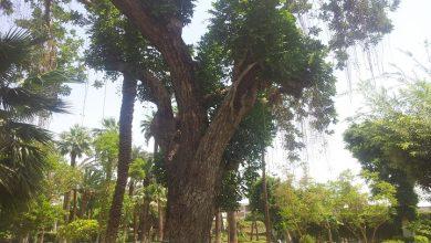 "Photo of شاهد.. أقدم الأشجار الحية في الأقصر ""صور"""
