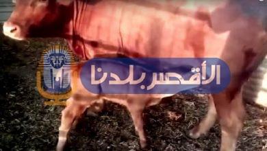 Photo of بعد مزاعم اسرائيل بظهورها.. تعرف على معتقدات اليهود عن نهاية العالم بظهور البقرة الحمراء