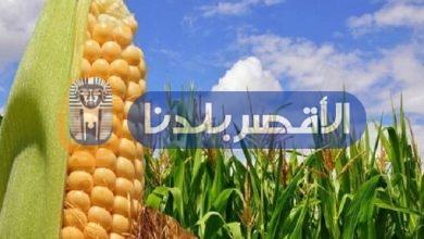 Photo of صور… الإرشاد الزراعى بالأقصر ينظم يوم الحصاد للذرة الشامية بمدينة القرنة